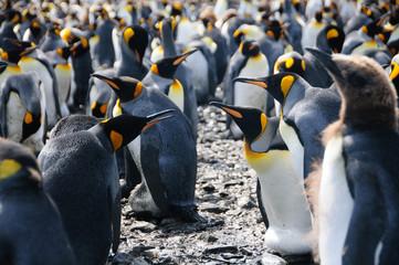 King Penguins on Salisbury plains
