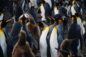 King Penguins on Gold Harbour