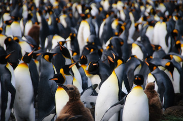 King Penguins on Gold Harbour