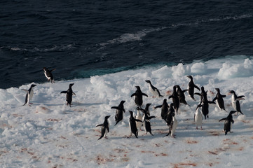 Adelie Penguins on an ice shelf in the Weddell Sea