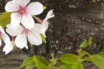 桜 - Japanese sakura - cherry blossoms