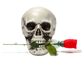 Human skull with red rose on white isolated background.