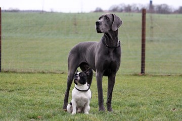 Obraz portrait from a french bulldog and a great dane in the garden - fototapety do salonu