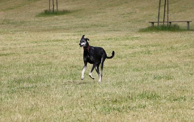 beautiful sloughi is running in the park
