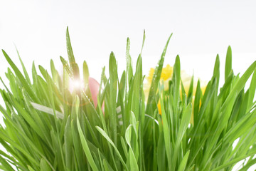 Fresh spring grass stock images. Easter decoration on a white background. Spring decoration images. Spring floral decoration. Spring background concept. Fresh green grass