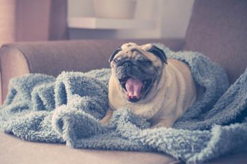 pug on the sofa already waked up
