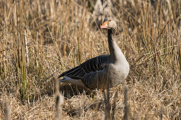 Greylag goose standing in rush or reed in early morning light