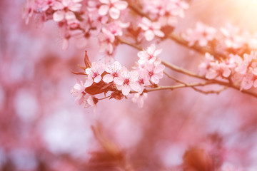 Blossoming of the Japanese cherry with pink tender flowers, natural spring floral background. Macro image with copy space suitable for wallpaper or greeting card