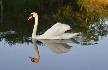 A swan swimming in a canal  on the Marais Poitevin or  Poitevin Marsh
