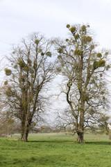 Mistletoe growing on trees at Idsworth Hampshire England UK