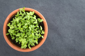 Many small parsley seedlings in pot, photographed overhead on slate (Selective Focus, Focus on the tallest leaves)