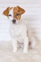 portrait of a beautiful small dog sitting on a white blanket and looking at the camera. White bricks background. Cute dog. Pets indoors. LIfestyle