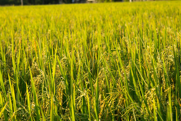 Paddy Rice Field in Sunset Time