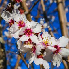 Fleur d'amandier au printemps