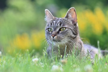 Tabby cat lying in the grass with blooming background. Felis silvestris.
