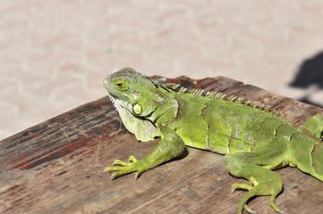 Grüner Leguan / Iguana iguana ), am Strand von Playa del Carmen, Yucatan, Mexiko, Mittelamerika