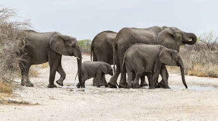 Elephant family in the mud drinking and bathing after the first rains in Etosha National Park in Namibia