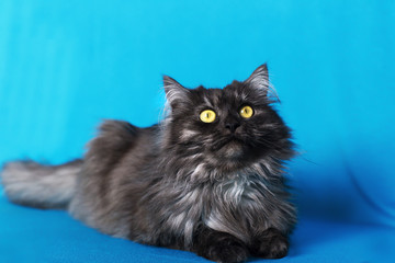 fluffy cat with yellow eyes on blue background