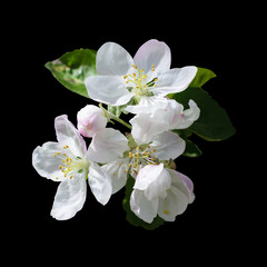 White flowers apple tree isolated black background