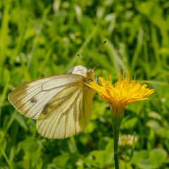 White butterfly sitting on yellow flower on the left on green grass background.