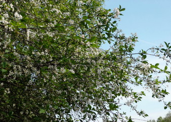 cherry-tree flower at day