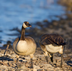 Two Geese on the Lakeshore