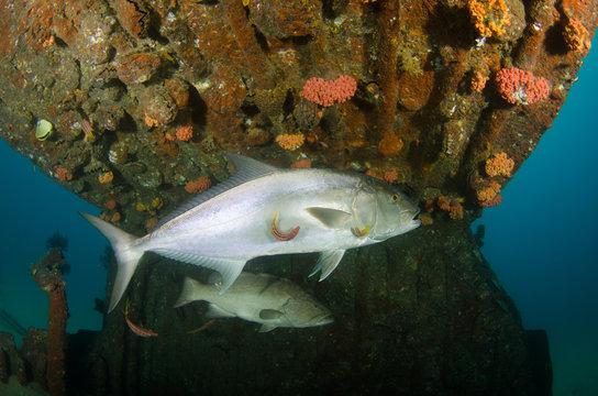 Greater amberjack (Seriola dumerili). Cabo Pulmo National Park, The world's aquarium. Baja California Sur,Mexico.