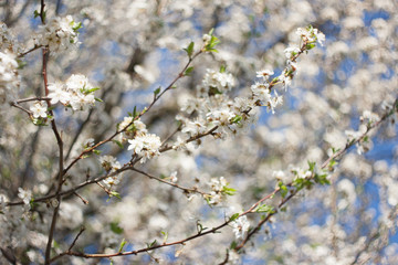 Fruit tree spring flowers (shallow depth of field)