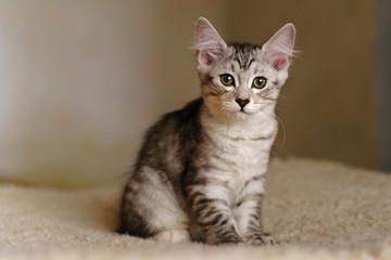 Lovely thoroughbred gray kitten. Breed Kurilian Bobtail. Hypoallergenic breed of cats