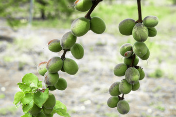 Young growing Spring Apricots