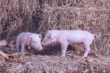 The lifestyle of the farm in the countryside,the little pigs on straw in rural farms