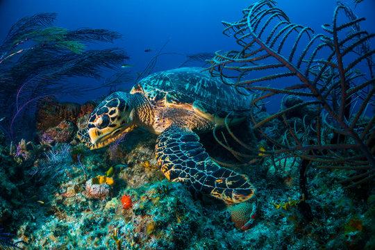 Hawksbill turtle Bahamas
