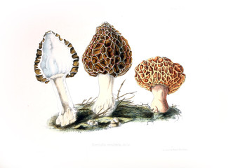 Illustration of mushrooms