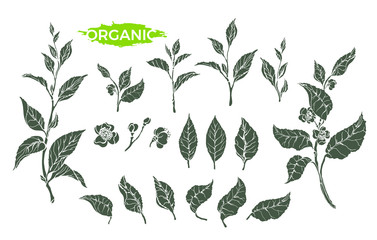Vector natural set of green tea branch