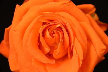 Róża w kroplach wody