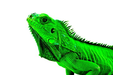 Green Iguana's head profile