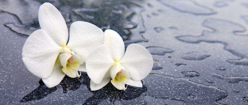 Two white orchid flowers .