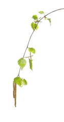 Young birch branch with leaves isolated on white background, clipping path
