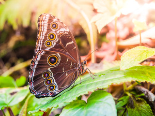 Blue morpho butterfly with closed wings sitting on a green leaf.