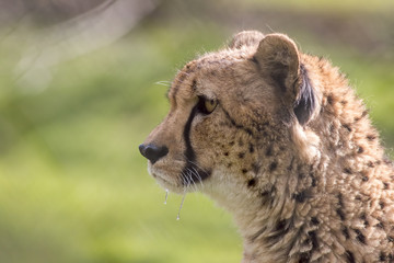 Hungry cheetah cat face in close-up profile with dripping saliva