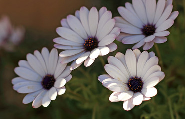White daisies in spring