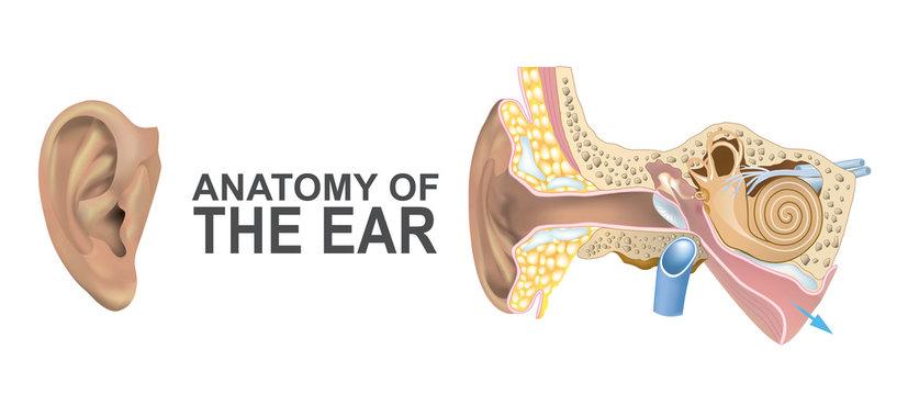 Anatomy of the Ear.