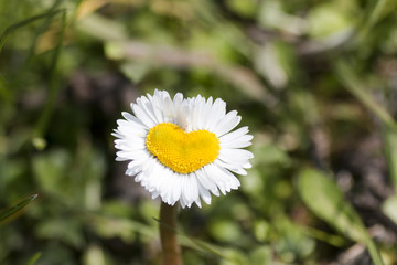heart shaped daisy