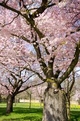 Wall Mural - Frühlingserwachen, Glück, Freude, Optimismus, Glückwunsch, alles Liebe: zarte, duftende japanische Kirschblüten vor blauem Frühlingshimmel :)