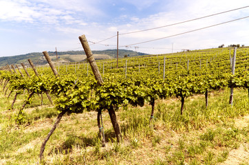 Vineyard in Italian valley, in a summer sunny day.
