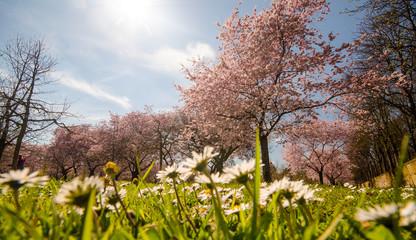 Wall Mural - Frühlingserwachen, Glück, Freude, Optimismus, Glückwunsch, alles Liebe: zarte, duftende japanische Kirschblüten und Gänseblümchen vor blauem Frühlingshimmel :)