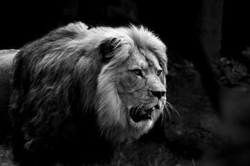 konzentrierter Löwe