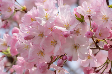 Cherry blossoms of late bloom