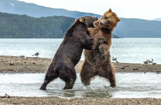 Conflict between bears on Kurile lake, Kamchatka - Russia
