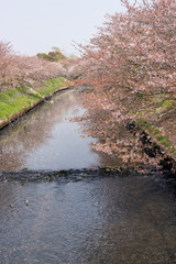Cherry blossoms and flower rafts along the river of Funabashi City, Chiba Prefecture, Japan